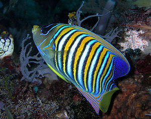 Pomacanthidae - Royal angelfish, Pygoplites diacanthus from East Timor