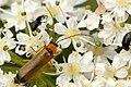 Rhagonycha.nigriceps.-.lindsey.jpg