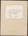 Rhinoceros javanicus - 1700-1880 - Print - Iconographia Zoologica - Special Collections University of Amsterdam - UBA01 IZ22000229.tif