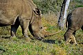Rhinocerus with a beautiful horn (13869162493).jpg