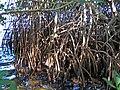 Rhizophora mangle (red mangroves) (Sanibel Island, Florida, USA) 4 (24361380081).jpg