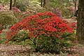 Rhododendron 'Emblem' B-7 Bush.JPG
