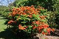 Rhododendron calendulaceum - Arnold Arboretum - DSC06664.JPG