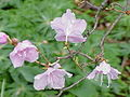 Rhododendron mucronulatum2.jpg