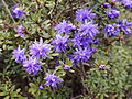 Rhododendron polycladum-IMG 6686.JPG