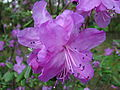 Rhododendron sp. 105.jpg