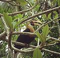 Rhyticeros plicatus, male (12737762003).jpg