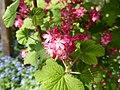 Ribes-sanguineum-Atrorubens-1.jpg