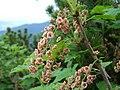 Ribes petraeum a2.jpg