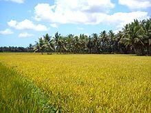 Campo coltivato a riso nel Distretto del Godavari Orientale, in India.
