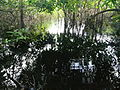 Ripples in swamp water - short exposure.jpg