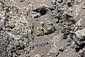 Rochas e planta en Timanfaya- Lanzarote- Illas Canarias- Spain-T16.jpg
