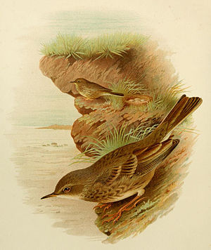 Eurasian rock pipit - 1907 illustration by Henrik Grönvold