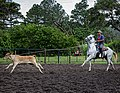 Rodeo Event Calf Roping 22.jpg