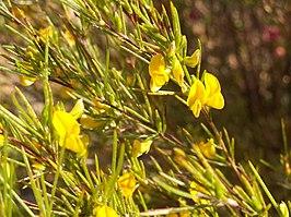 Allergie Planten Huid : Rooibos wikipedia