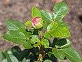 Rosa 'Ambiente' (d.j.b) 02.jpg