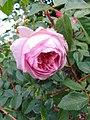 Rosa 'Sonia Rykiel'.jpg
