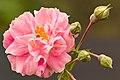 Rosa Borbonica.jpg