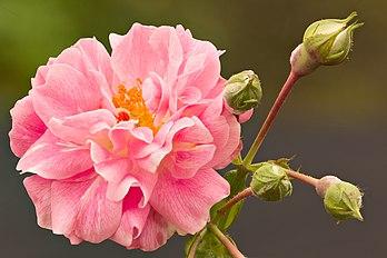 Rose Bourbon. (définition réelle 5472×3648)