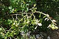 Rosa canina, Rosaceae 03.jpg