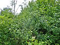 Rosa rubiginosa plant (02).jpg