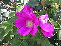 Rosa rugosa Yarmouthport flower-3.jpg