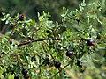 Rosa spinosissima fruit (31).jpg