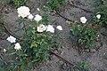 Rosaleda de madrid (7).jpg
