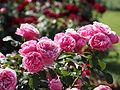 Rose, Leonard da Vinci, バラ, レオナルドダビンチ, (8872422559).jpg