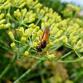 Rose Sawfly Arge ochropu. Argidae - Flickr - gailhampshire.jpg
