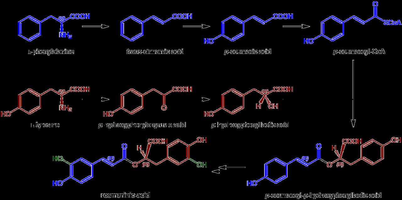 Naše (samo)štúdium - Stránka 20 1280px-Rosmarinic_acid_biosynthesis