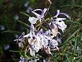 Rosmarinus officinalis FlowersCloseup DehesaBoyaldePuertollano.jpg