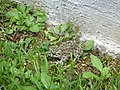 Rospo smeraldino (Bufo viridis).JPG