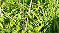 Rote Libelle am vorderen Feuerlöschteich im Solling (Deensen-Schorborn) 4.jpg