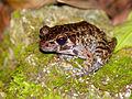 Rough-sided Frog (Hylarana glandulosa) (15513484005).jpg