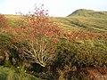 Rowan Tree in Patterson's Glen - geograph.org.uk - 258699.jpg