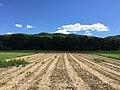 Rows in Dirt.jpg