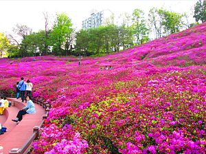 Gunpo - Royal Azaleas Hill in full bloom