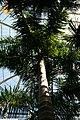 Roystonea regia 2zz.jpg