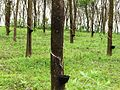 Rubber trees in Kerala, India.jpg