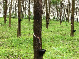 Thiruvambady - Rubber estate in Thiruvampady