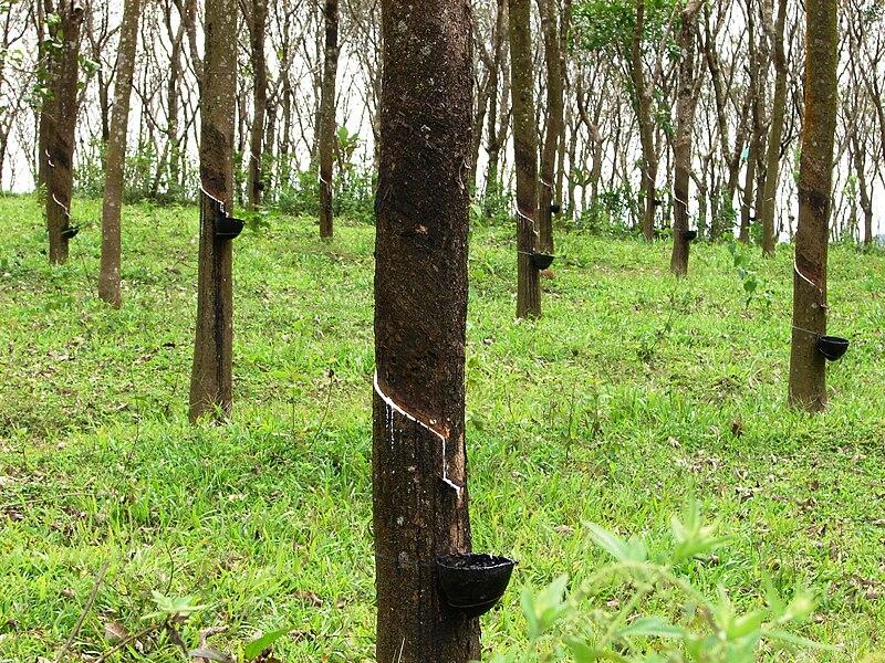 File:Rubber trees in Kerala, India.jpg