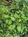 Rubia cordifolia 02.JPG