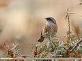 Rufous-backed Redstart (Phoenicurus erythronotus) (31668552067).jpg