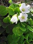 Ruhland, Grenzstr. 3, Waldsauerklee im Garten, blühende Pflanzen, Frühling, 02.jpg