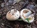 Russula compacta Frost & Peck 649489.jpg