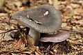 Russula cyanoxantha (44290996435).jpg