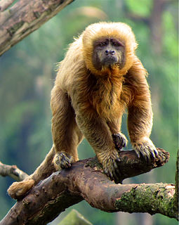 Blond capuchin species of mammal