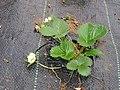 STRAWBERRY FLOWER-സ്ട്രോബെറി പൂവ്.jpg