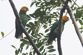 Saffron-headed Parrot (Pyrilia pyrilia) (8079746799).jpg